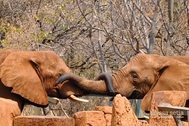 SA elephant, monkey42